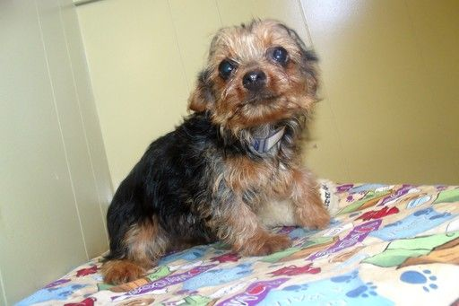 Yorkshire Terrier Puppy For Sale In Paterson Nj Adn 47131 On Puppyfinder Com Gender Male Age 5 Months Yorkshire Terrier Puppies Yorkshire Terrier Puppies