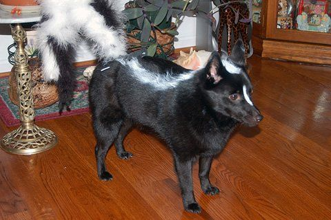 Skunk dog costume diy dog costumes paws pinterest halloween y skunk dog costume diy dog costumes solutioingenieria Image collections