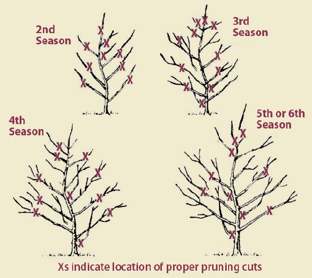 How To Prune Producing Fruit Trees Pruning Fruit Trees Aquaponics Pruning Apple Trees