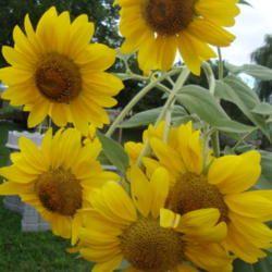 Sunflowers (Helianthus annuus) photo by Paul2032