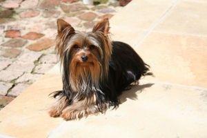 i love dogs Yorkies!!