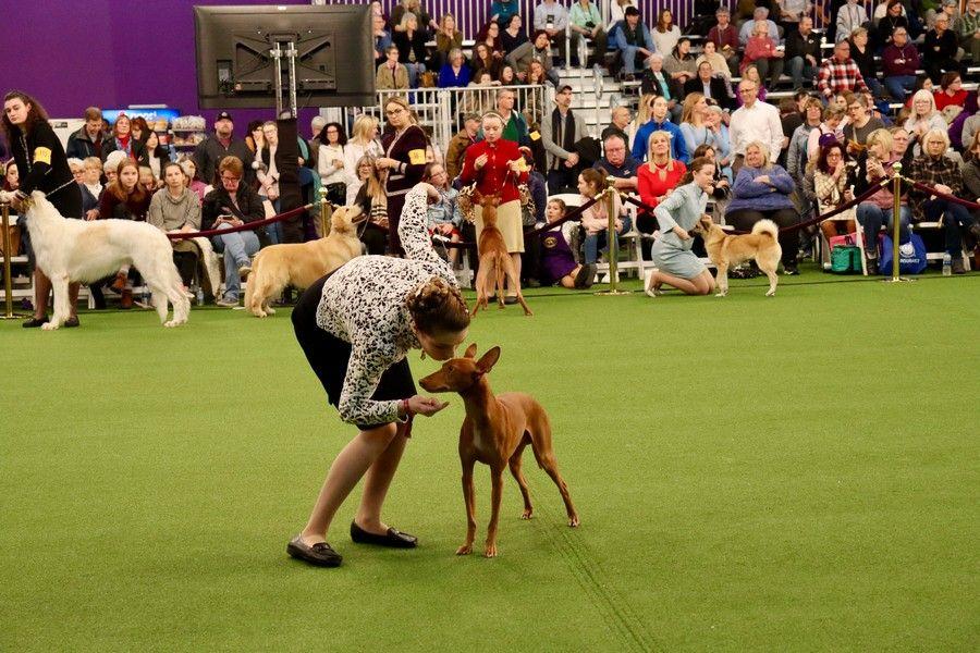 Junior Showmanship At Westminster Dog Show In 2020 Westminster Dog Show Dog Show Showmanship