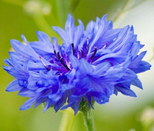 Blue Cornflower Flower Essence Pacific Northwest Essences