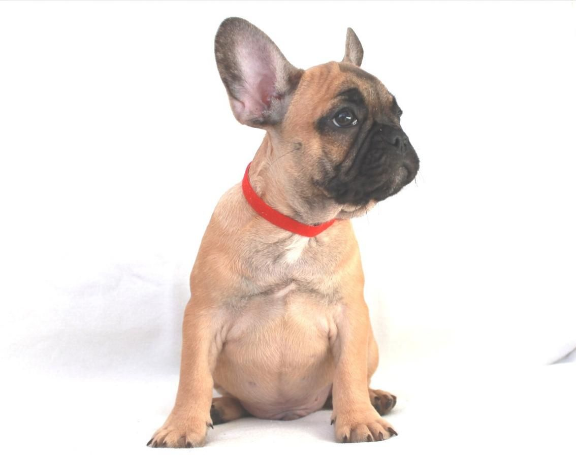 Red Fawn Male Frenchieforsale Frenchie4sale Frenchbulldogforsale Frenchbulldog Frenchiebulldog Fr French Bulldog Puppies Frenchie Bulldog French Bulldog