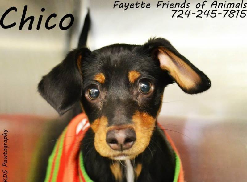 Meet Chico A Petfinder Adoptable Dachshund Dog Uniontown Pa