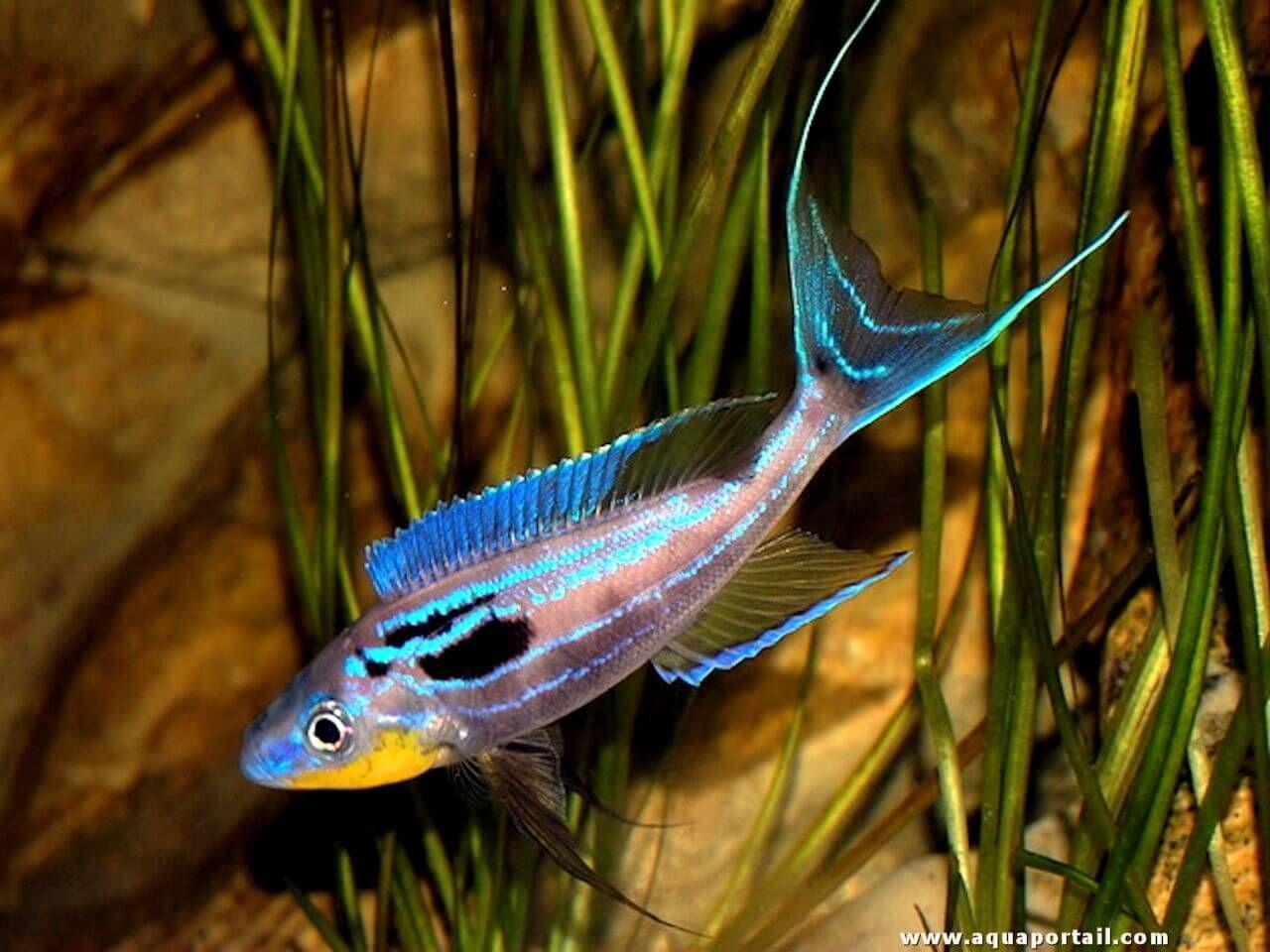 Freshwater aquarium fish maintenance - Benthochromis Tricoti Levage Maintenance Reproduction Le Cichlid Benthochromis Tricoti Est End Mique Du
