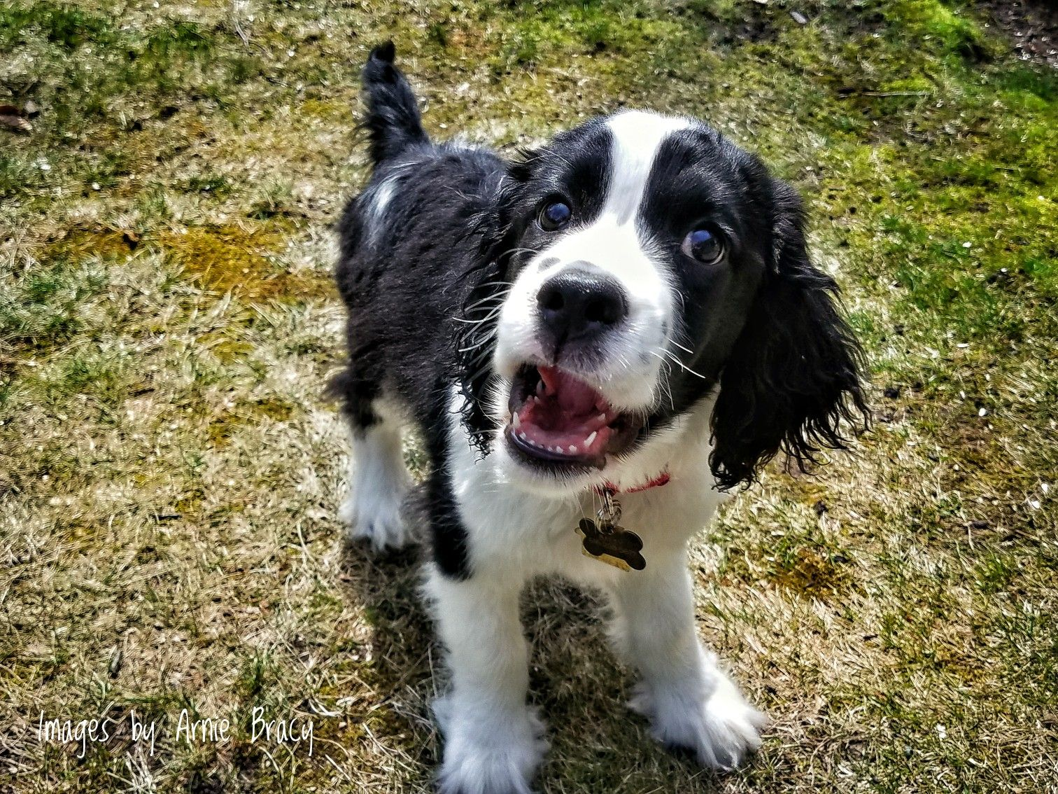 English Springer Spaniel Pup In His First Spring Springer Spaniel Puppies Spaniel Puppies Teach Dog Tricks