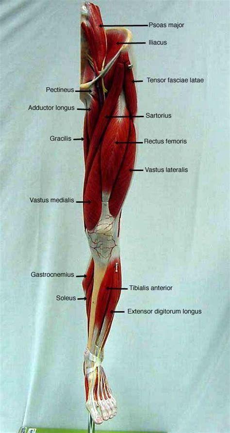 Resultado De Imagen De Leg Muscle Model Labeled Anatomico
