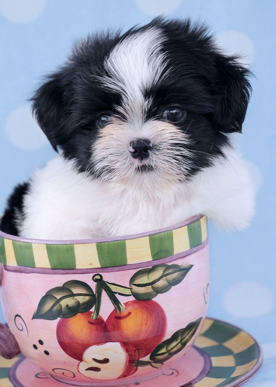 Adorable Shih Tzu Puppy By Teacups Puppies Shih Tzu Puppy Cute Animals Puppies