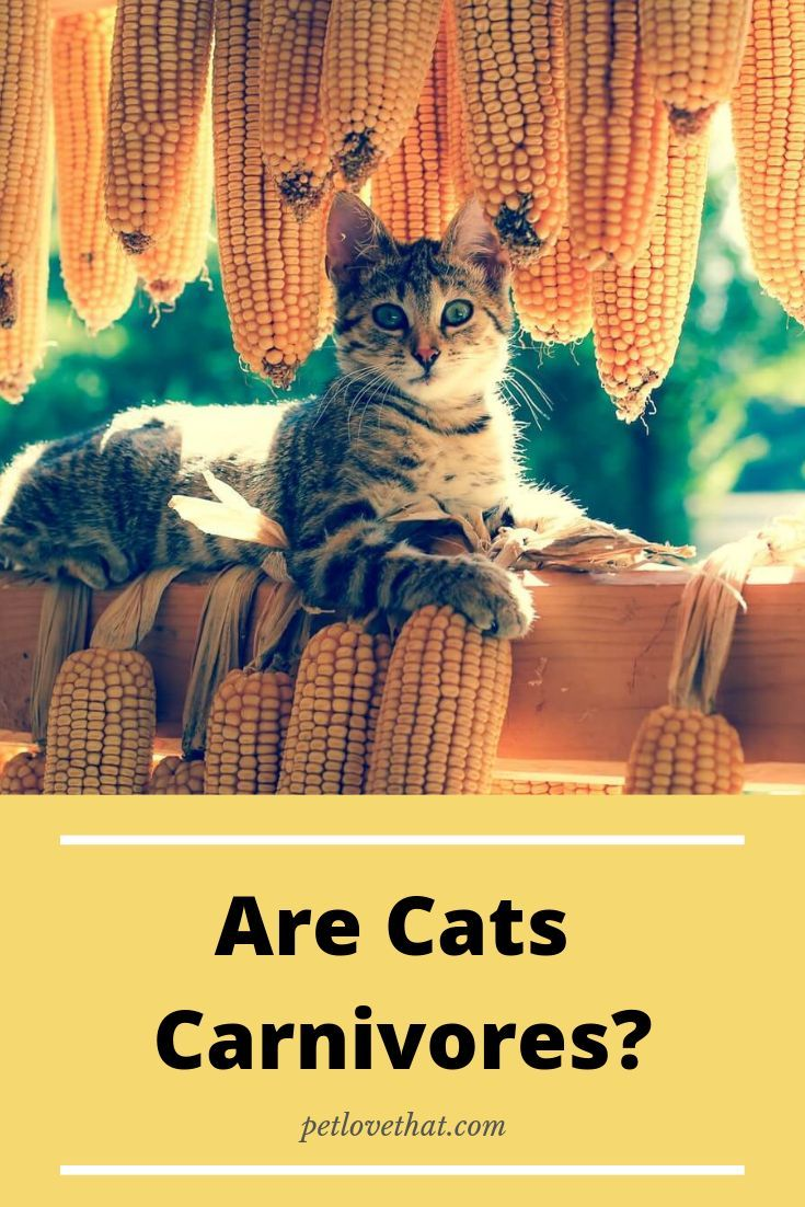 Are Cats Carnivores (With images) Cats, What cats can