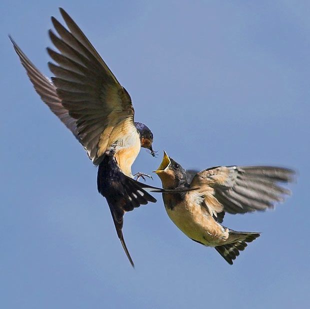 Pictures of the day: 20 July 2010 | Barn swallow, Birds ...