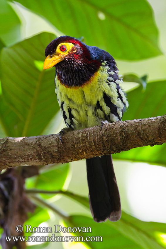 Yellow-billed Barbet (Trachyphonus purpuratus)