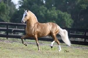 paso fino horses - BT Yahoo Image Search results