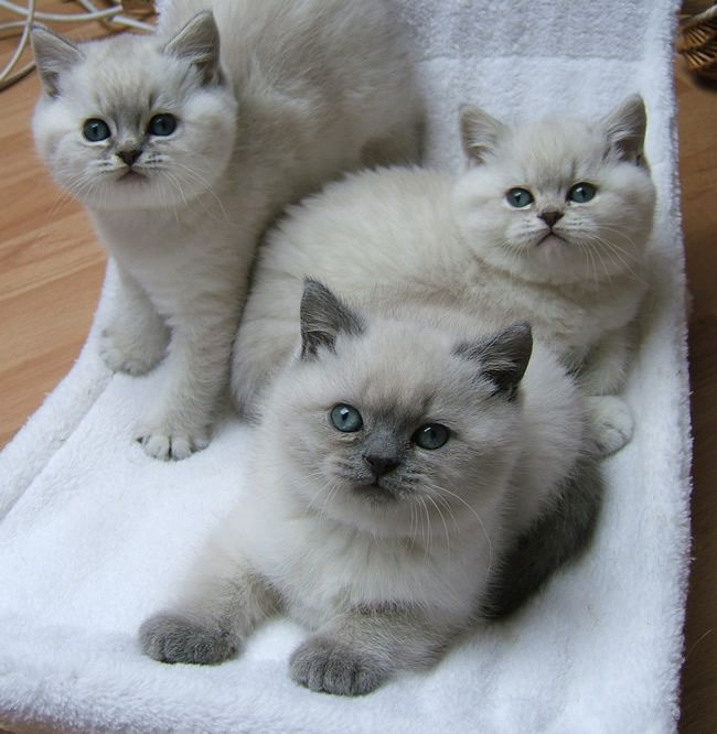 The Nursery Blue Tabby Colourpoints Baby Cats British Shorthair Cats Cute Cats