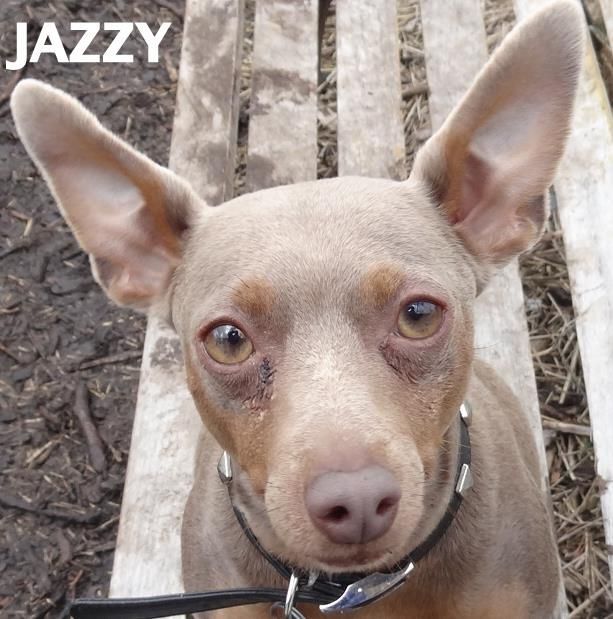 Adopted Tag 14388 Name Is Jazzy Minature Pinscher Female Not Spayed Approx 3 4 Years Old 10 Lbs Full Of Personality And Friendliness Animals Pets Adoption