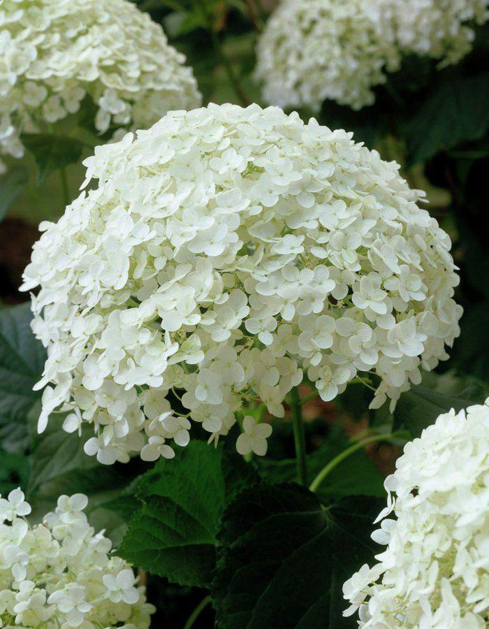 Hortensie Pflege Hydrangea Arborescens Annabelle | Blumen Und Deko ... Pflege Von Chrysanthemen Zucht Andere Ideen
