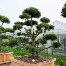 arbres nuage japonais bonsai geant pinus mugo 39 gnom 39 arbres nuages pinterest gartenbonsai. Black Bedroom Furniture Sets. Home Design Ideas