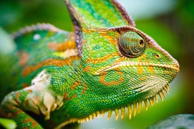 21+ Chameleon camo info