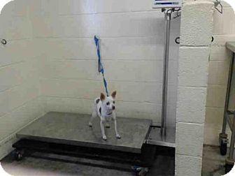 Sacramento Ca Chihuahua Mix Meet Jackie A Dog For Adoption