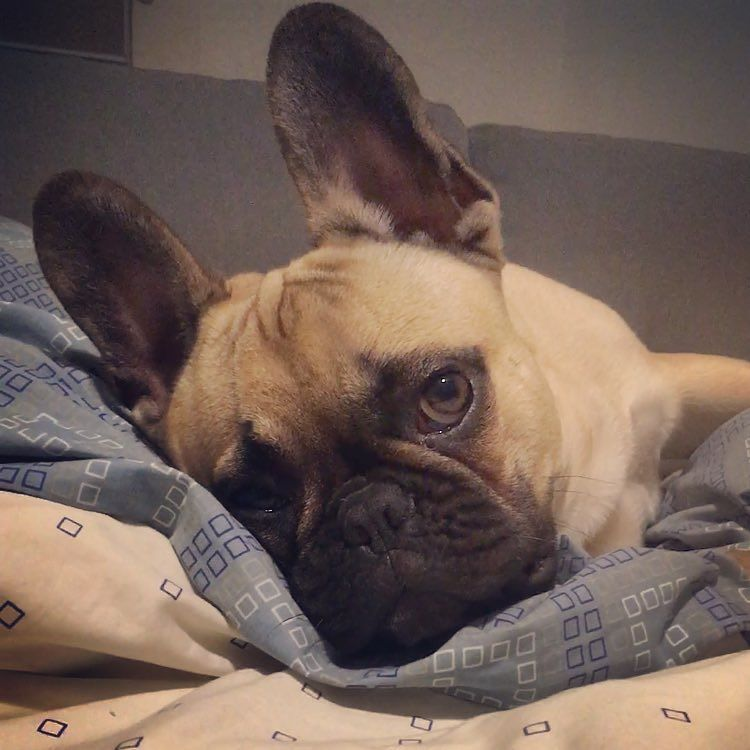 My Tummy Hurts Cuddles Please Toby The French Bulldog Is Sick