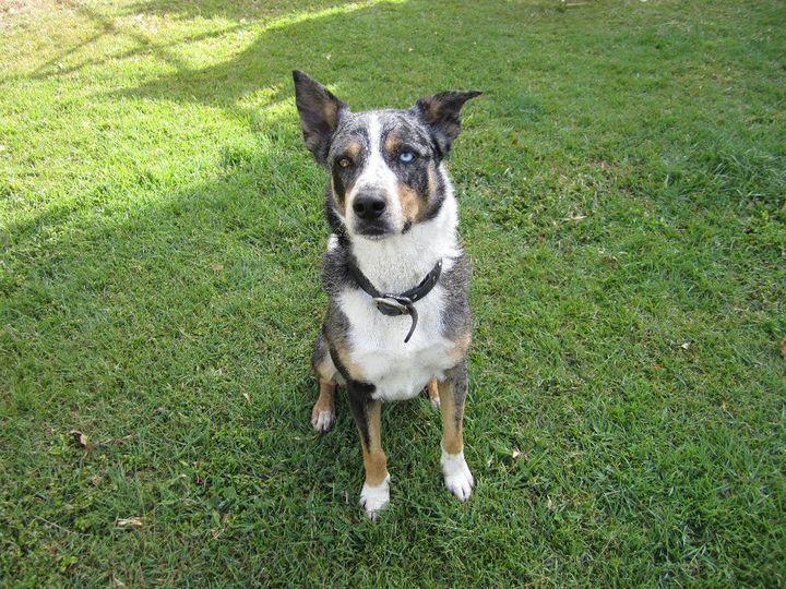 Australian koolie dog photo    wwwworkingdogrescueau - application forms