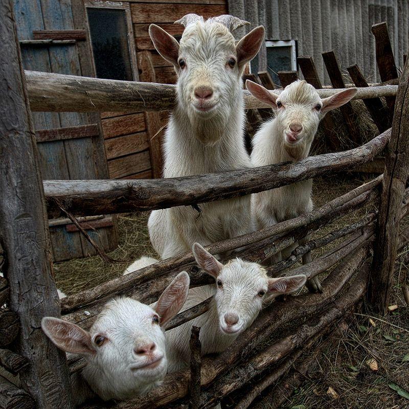 What A Crew Little Goats:) (via Козлятушки…ребятушки