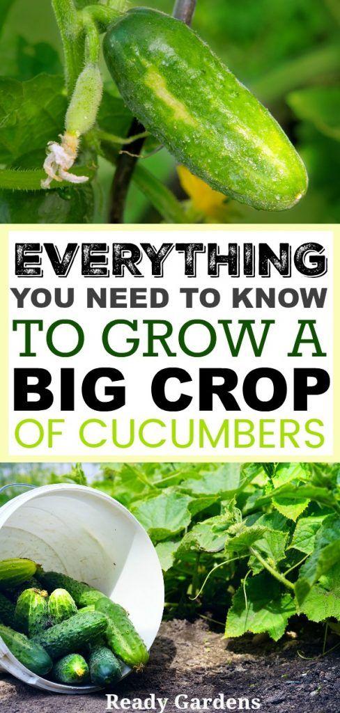 Everything You Need To Know To Grow A Big Crop Of Cucumbers Gurken Anbauen Tomaten Garten Bio Gemuse
