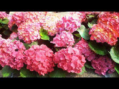 beautiful red Hydrangea