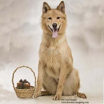 Tober Is A Beautiful Alaskan Malamute Golden Retriever Mix Up For
