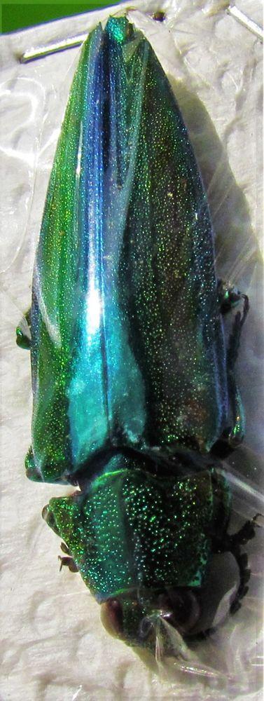 Rainbow Jewel Beetle Wood Boring Chrysochroa baudoni FAST SHIPPING FROM USA
