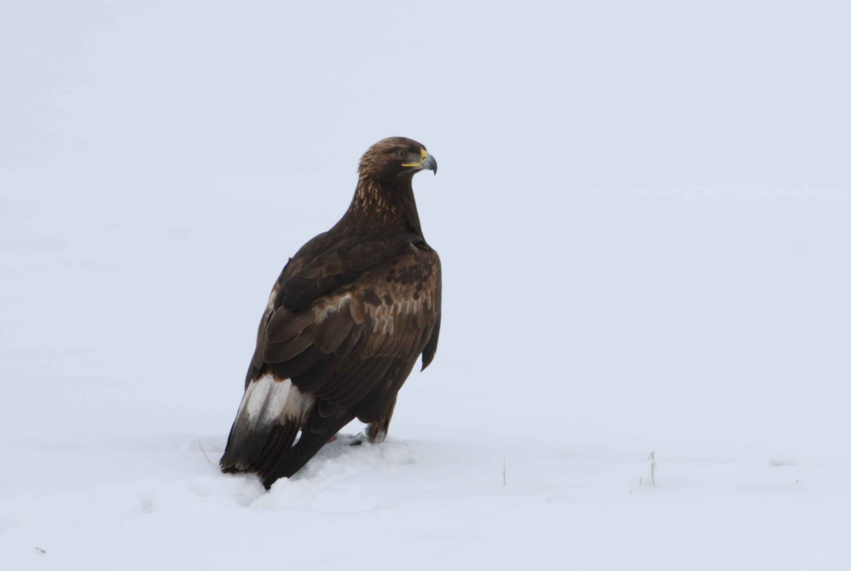 Download eagle bird wallpaper megahdscreen pinterest eagle download eagle bird wallpaper voltagebd Image collections