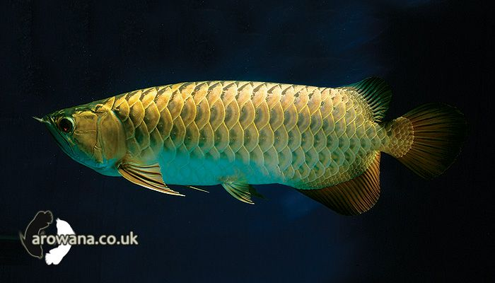 Arowana Co Uk Gallery Fish Dragon Fish Freshwater Aquarium Fish