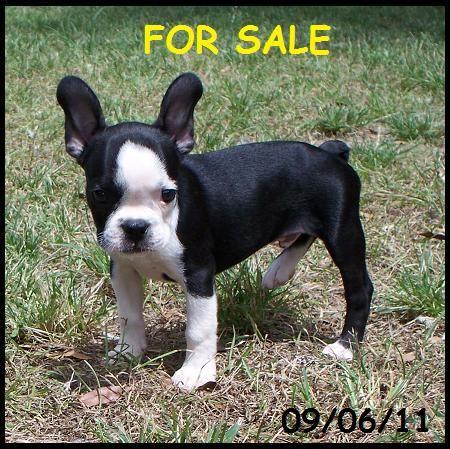 Frenchton I Want This Guy So Bad French Bulldog Puppies