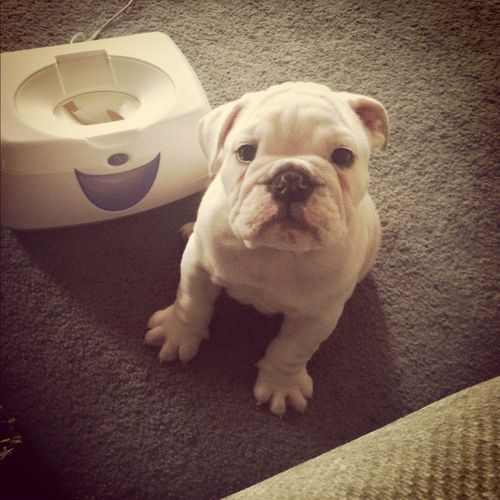 Bulldog Puppy Lover Bulldog Bulldog Puppies