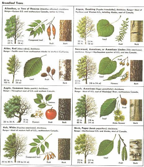 How Can Leaves Identify A Tree - Phenology How Can