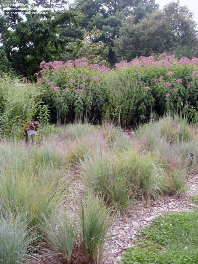 Little bluestem i 39 m not wild about ornamental grasses for Wild grass gardens