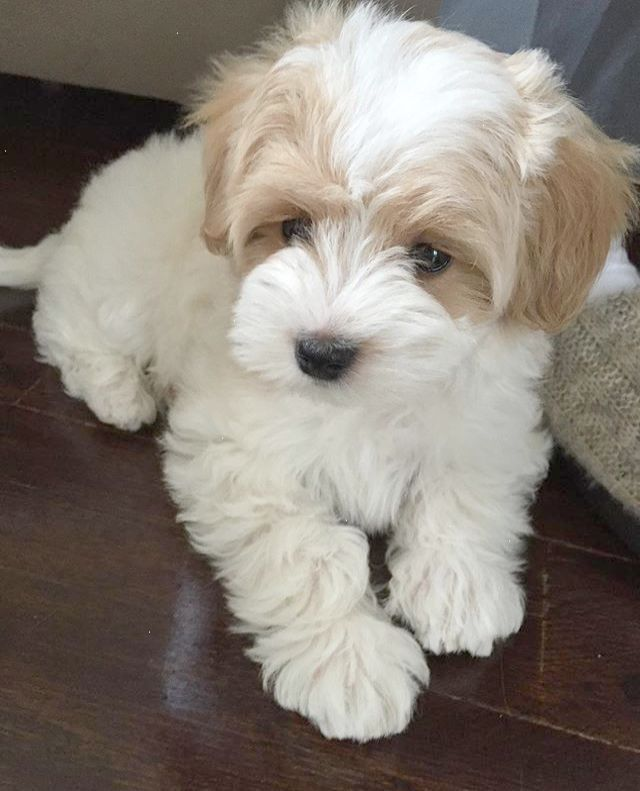 Pin for Later: 25 Adorable Dog Hybrids You Had No Idea Existed Maltipoo: Maltese Poodle