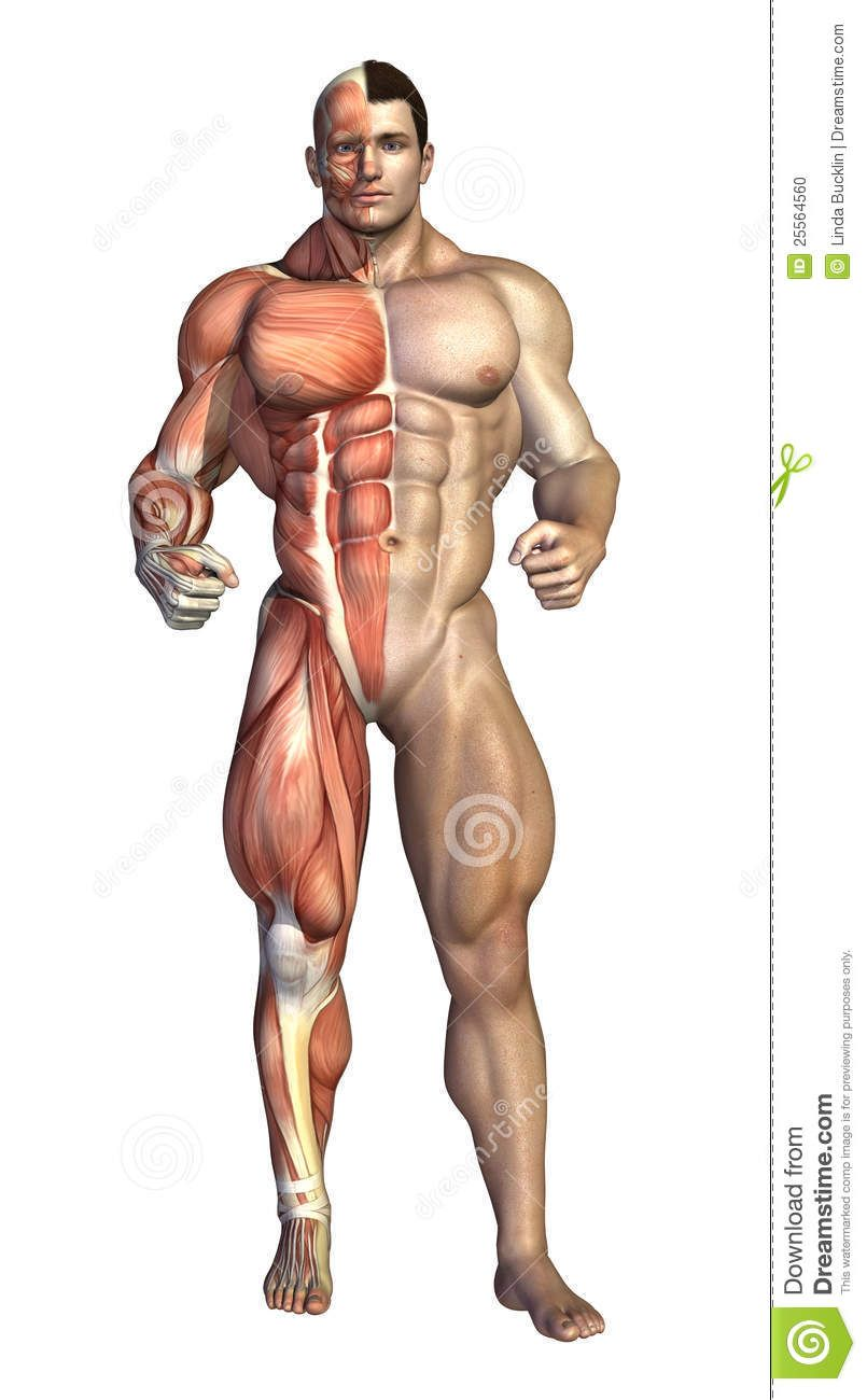 torso muscles - Google Search | Anatomy References | Pinterest