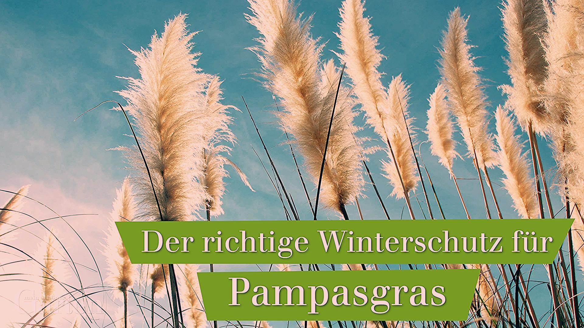 Photo of Ziergräser: Winterschutz für Pampasgras