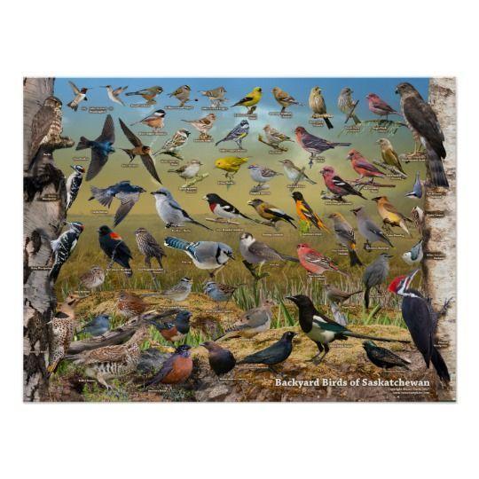Backyard Birds Of Saskatchewan Poster