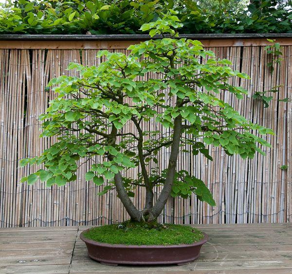 Der Japanische Garten Und Bonsai Im Bluhenden Barock Bonsai Bonsai Pflanzen Japanischer Garten