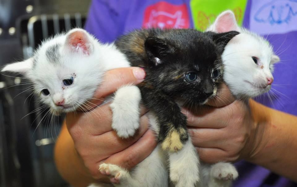 These little ones were at a local animal control when we walked in and we just could not leave them behind! They are small for their age but so sweet and full of cuddles! We are working at the growing part and hope to be ready for adoption in about a month!