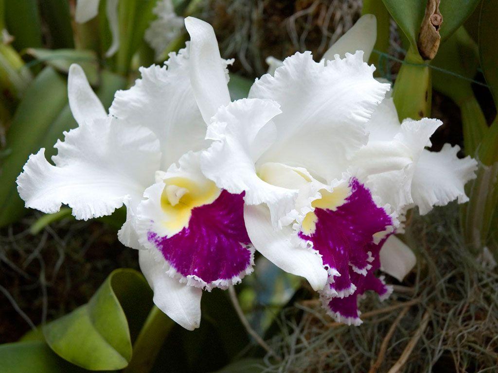 Orchidee Bedeutung verschiedene Arten und deren Schnheit  CATTLEYA  Orchideen