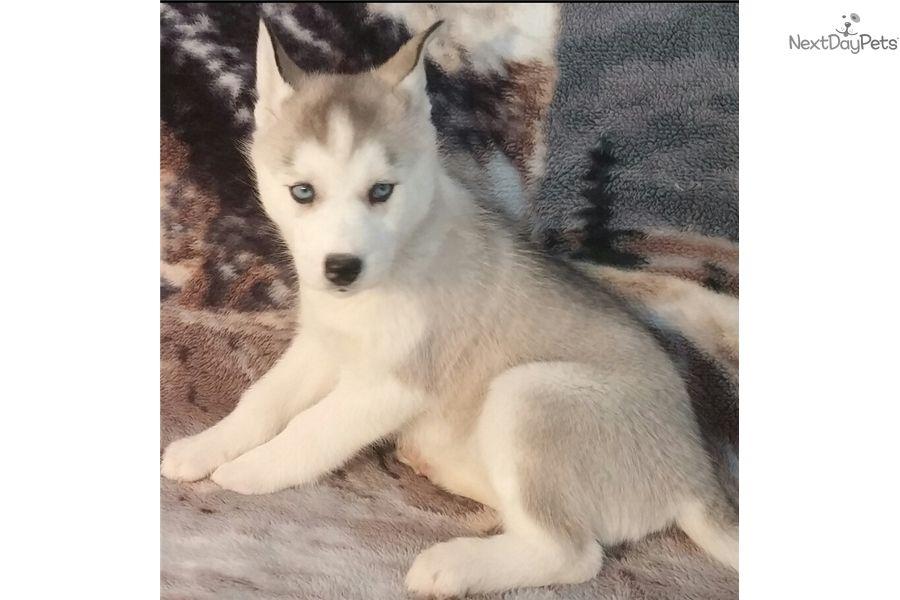 Siberian Husky Puppy For Sale Near Youngstown Ohio B1889cc9