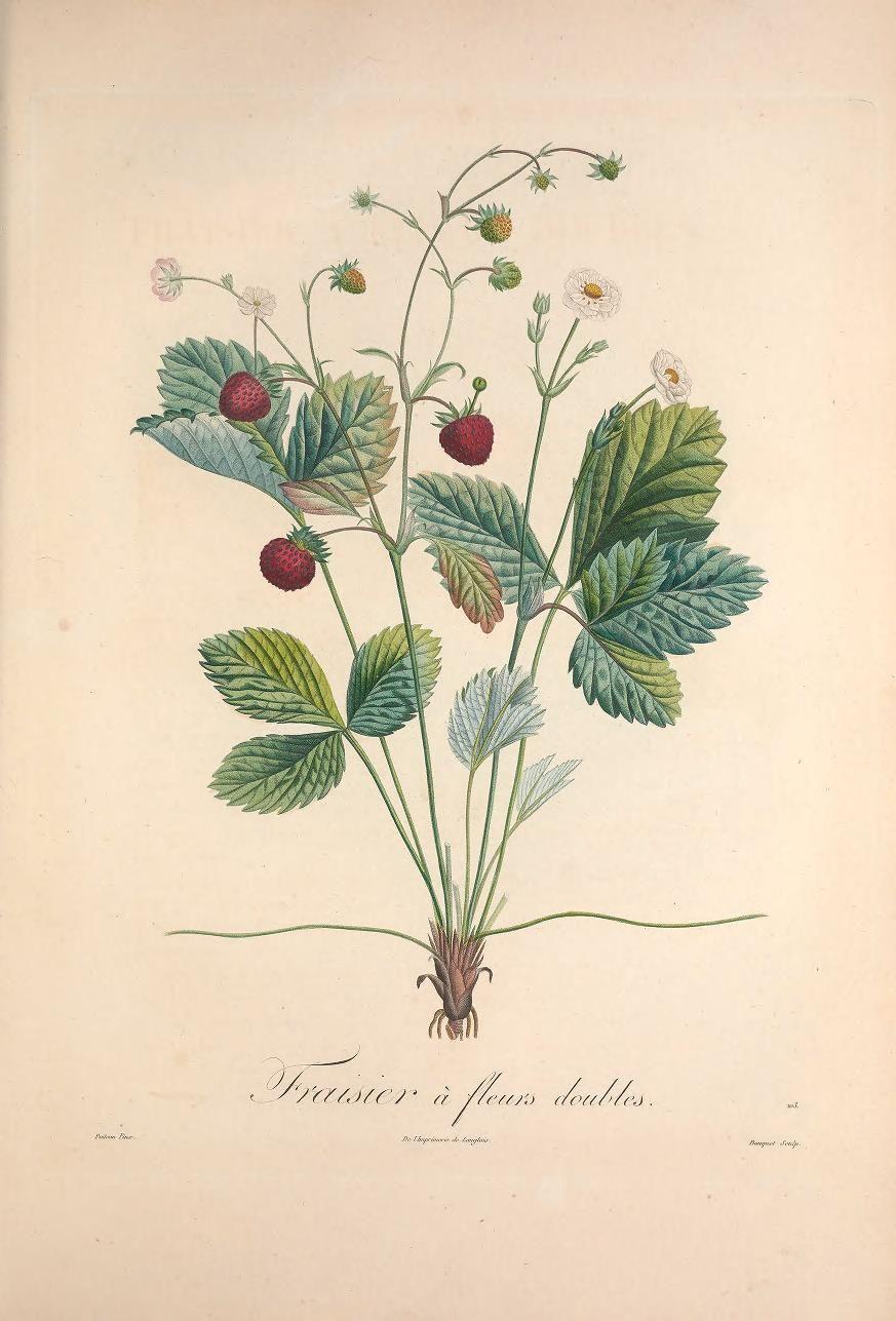 Pomologie française recueil des plus beaux fruits