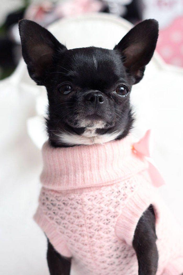 Dog Chihuahua Mercredi On Www Yummypets Com Chihuahua Chihuahuatypes Chihuahuadogs Cute Chihuahua Chihuahua Puppies Chihuahua Dogs