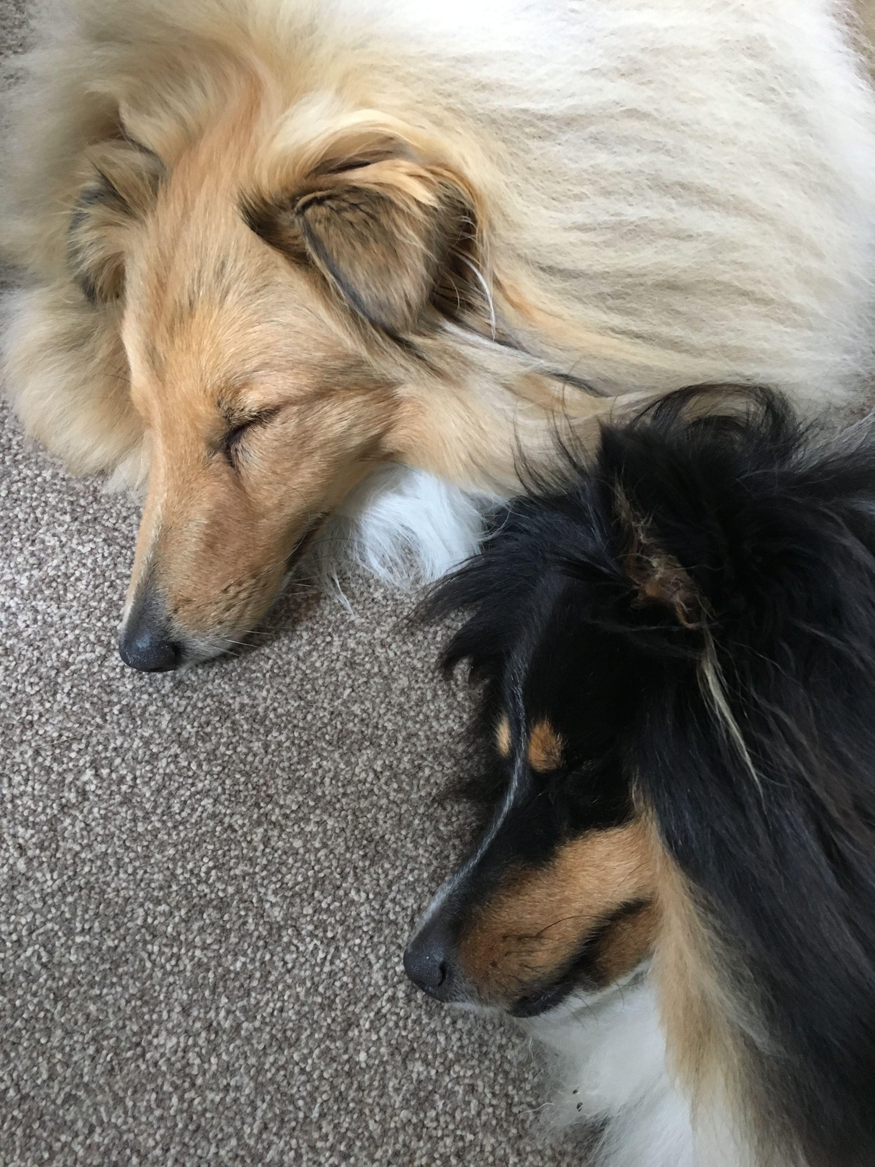 Rory And Finn Sheltie Dogs Shetland Sheepdog Sheltie