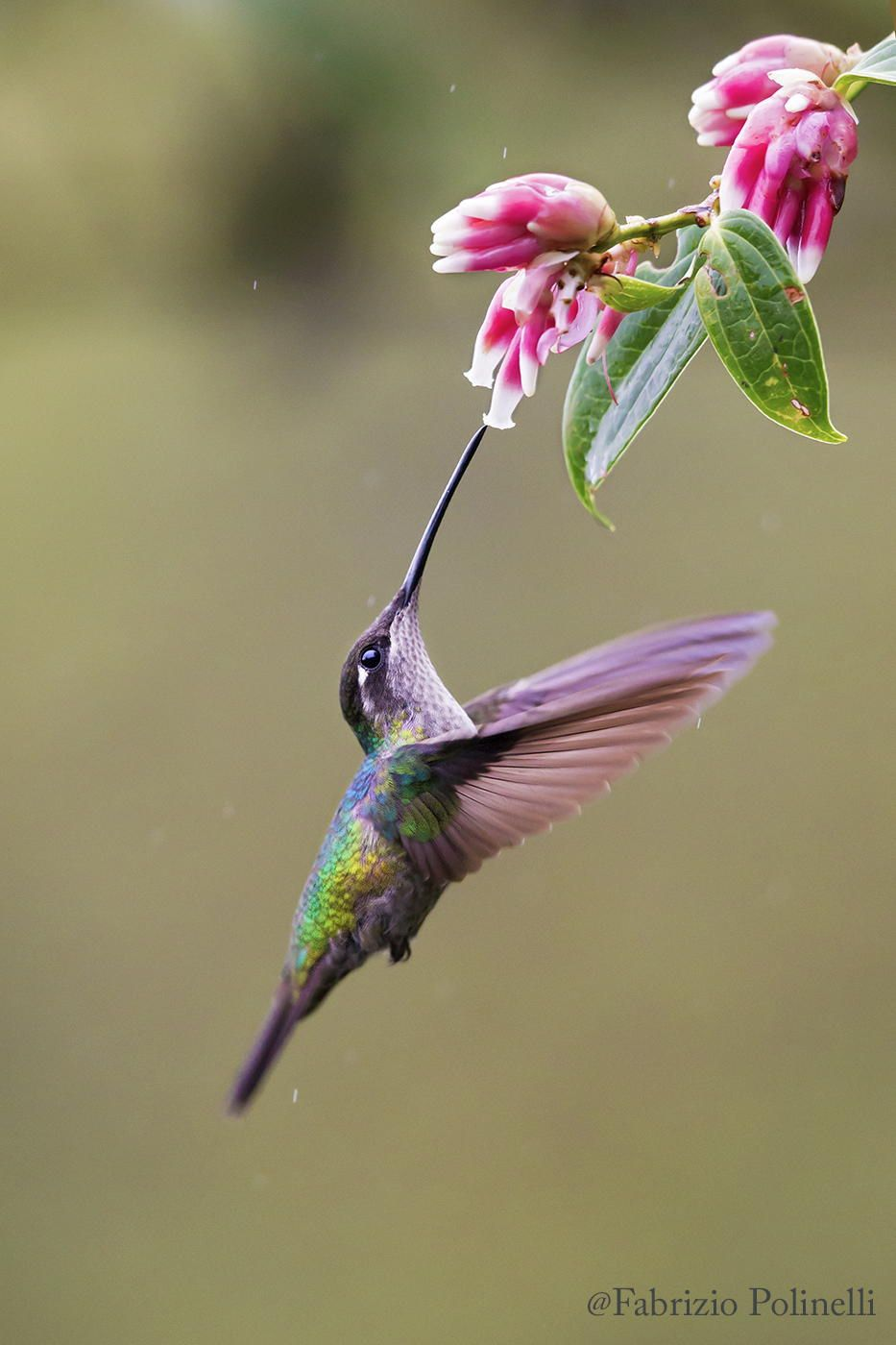 Feeding while in flight! Colibrí by Fabrizio Polinelli on 500px