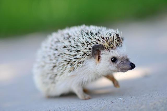 Why is Your Hedgehog Losing Quills?