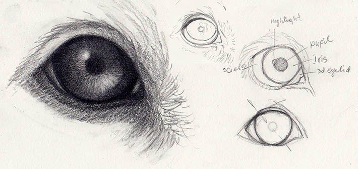 Anatomy of a dogs eye